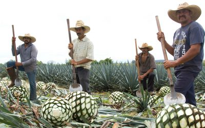 Jimadors harvesting