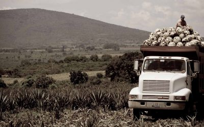 Truck in agave field
